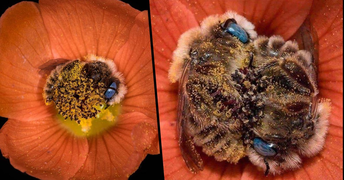 Photographer Captures Adorable Pictures of Bees Sleeping in Flowers