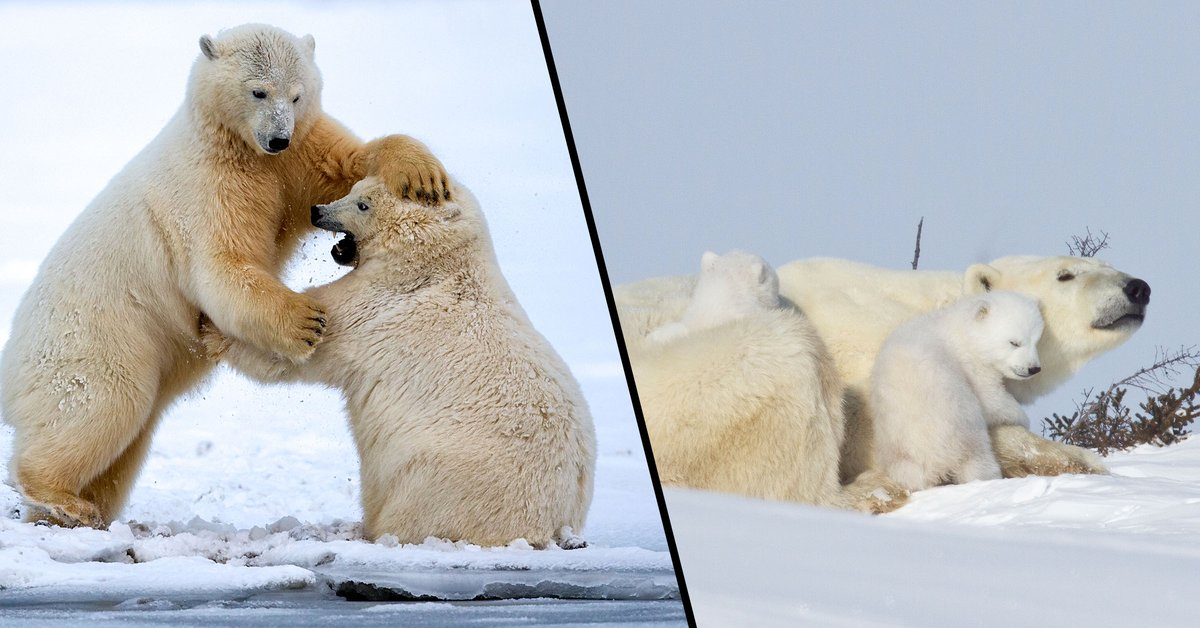 Polar Bears Are Being Forced Into Cannibalism Due to Climate Change, Scientist Says