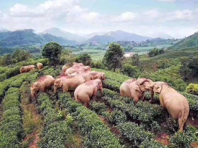 Slonovi se napili vinom nakon što su se ušuljali na farmu zbog potrage za hranom