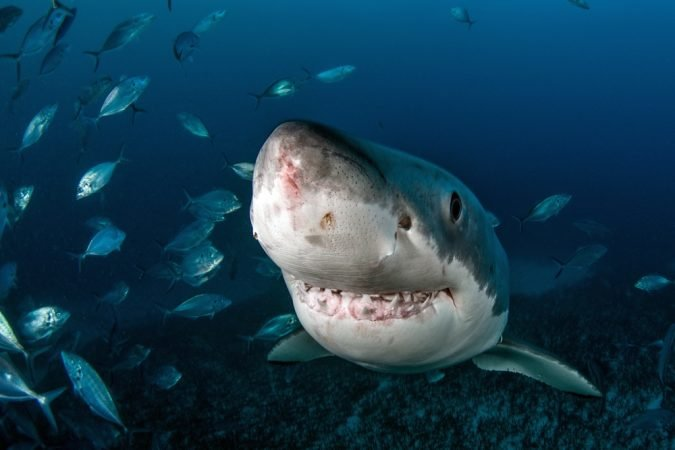 Why You'll Never See Great White Sharks in an Aquarium ...