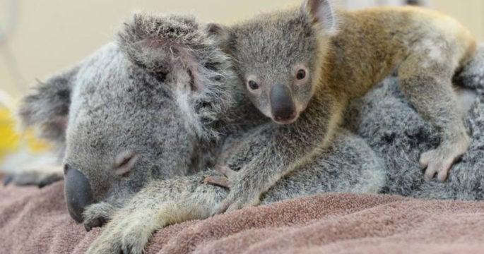Heartwarming Picture Captures a Baby Koala Hugging His Mom ... - photo#36