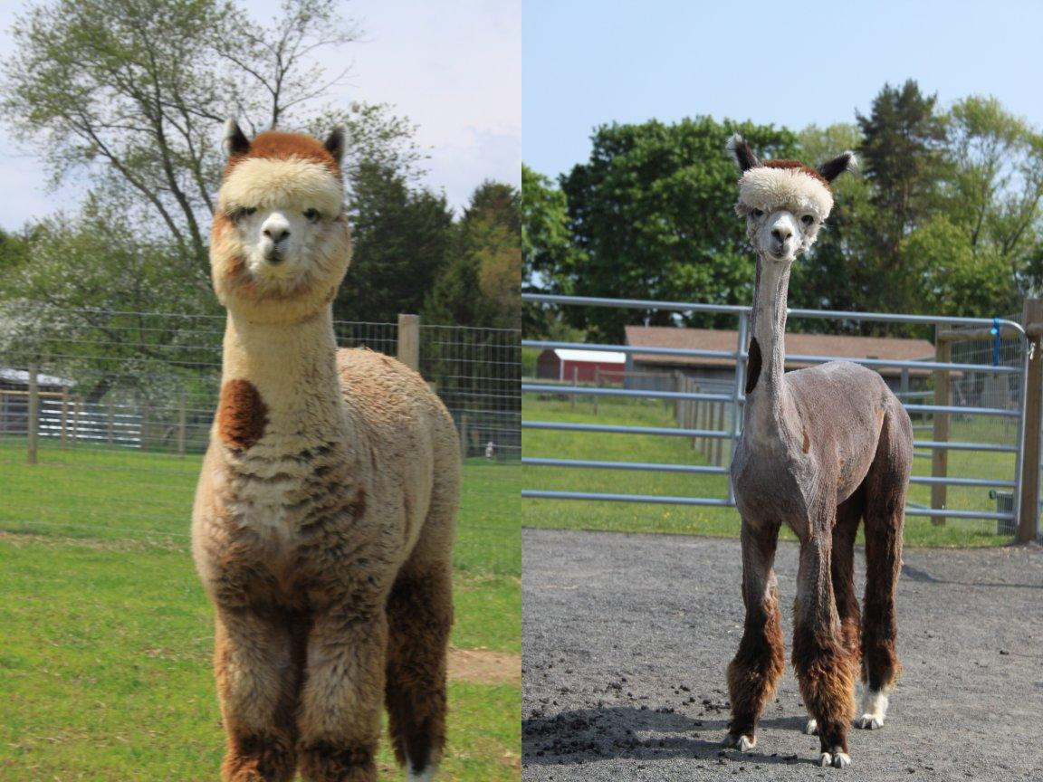 Alpaca - before and after shearing