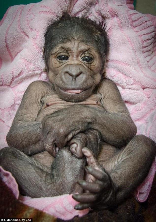 Baby Gorilla - 01