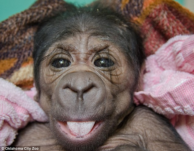 Baby Gorilla - 02