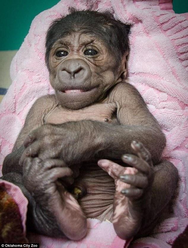 Baby Gorilla - 04