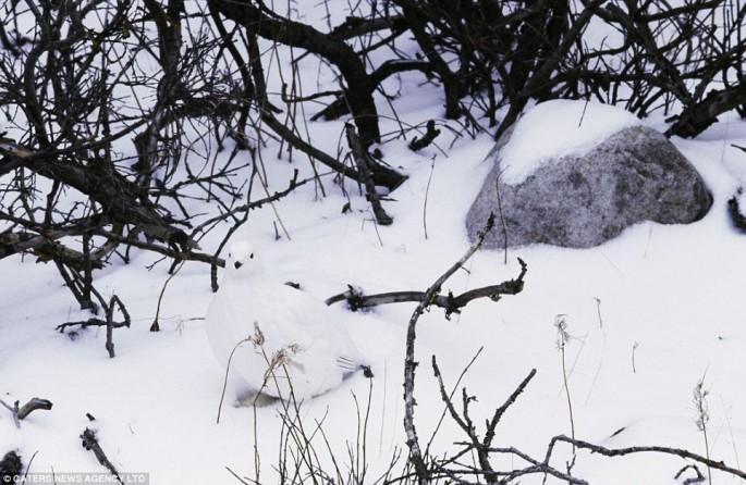Burung Ptarmigan willow