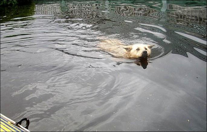 Dog Guards Home Despite Flood - 01