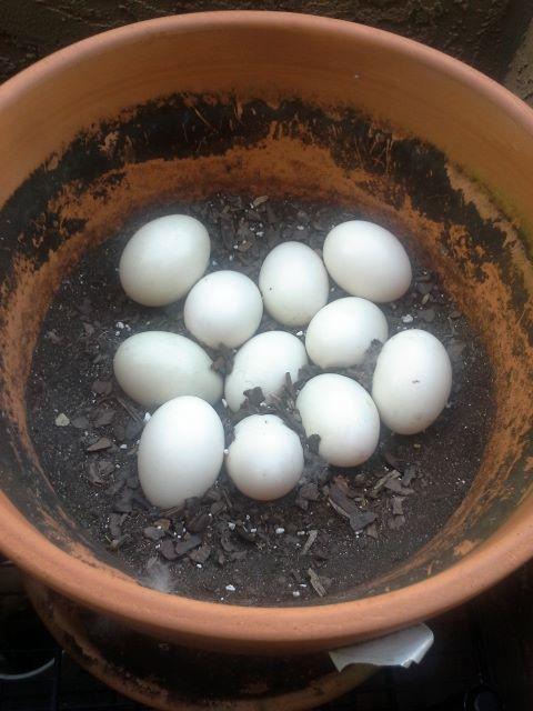 Duck Eggs 04