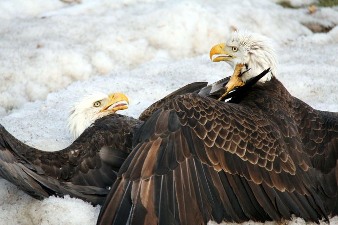 Eagles Fight 5
