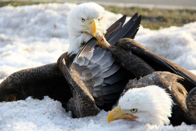 Eagles Fight 7