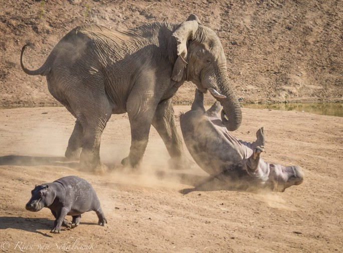 Elephant and Hippo - 01