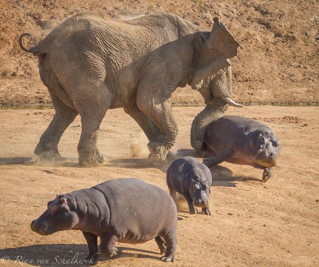 Elephant and Hippo - 02