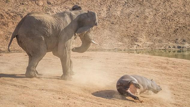 Elephant and Hippo - 04
