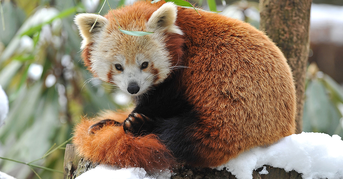 Image of: Facts Endangered Red Panda Escapes Belfast Zoo And Takes Herself For Day Trip Around The City Scrollin Red Panda Escapes Belfast Zoo For Day Trip Around The City 22 Words