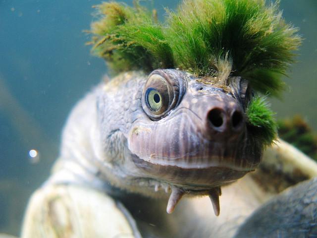 Mary river turtle algae - photo#7