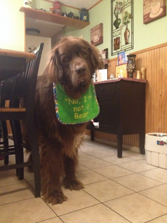 Newfoundland dog in a bib - No, I'm not a bear