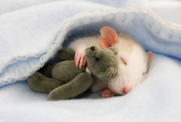 Rats with Teddy Bears 1