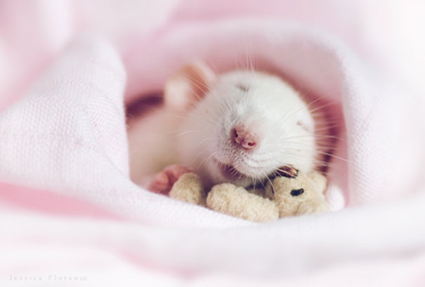 Rats with Teddy Bears 10