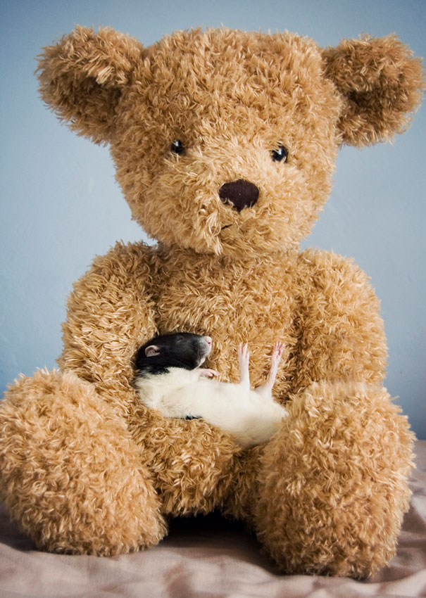 Rats with Teddy Bears 11