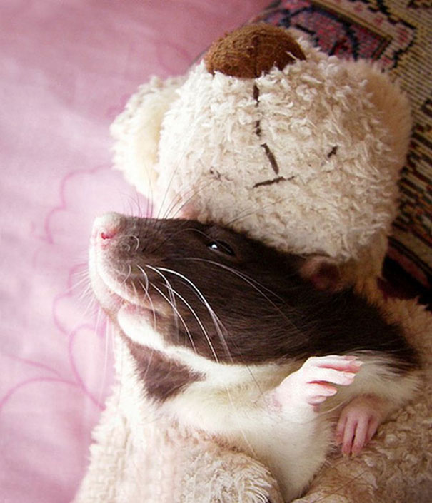 Rats with Teddy Bears 12