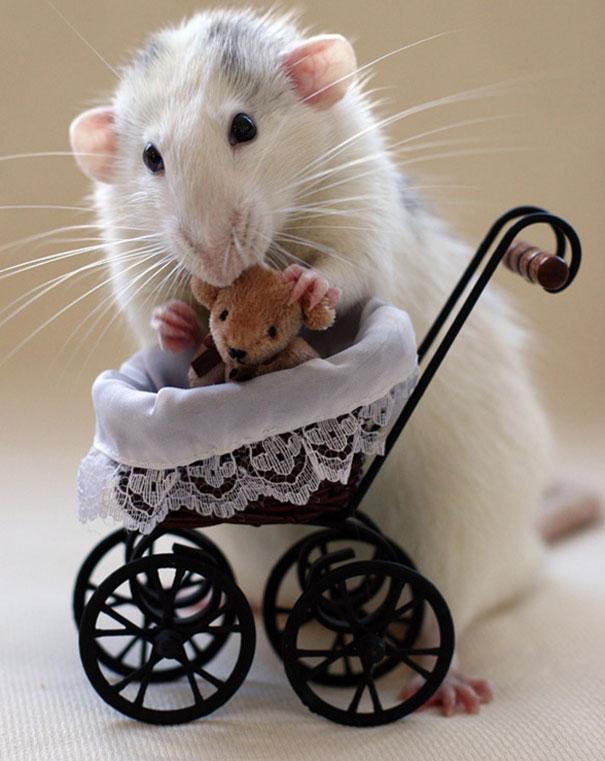 Rats with Teddy Bears 13