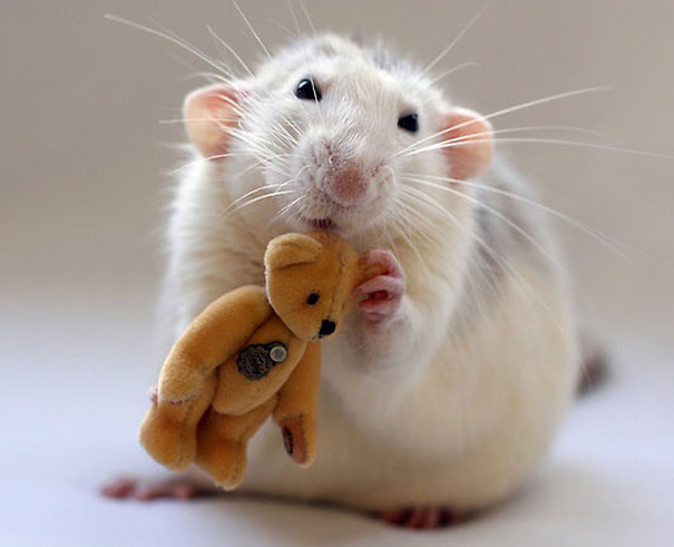 Rats with Teddy Bears 17