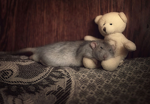 Rats with Teddy Bears 18