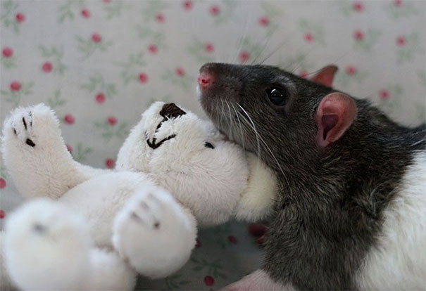 Rats with Teddy Bears 19