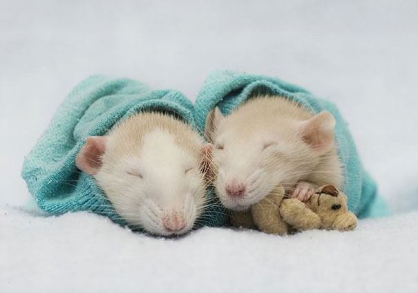 Rats with Teddy Bears 2