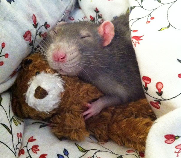 Rats with Teddy Bears 20