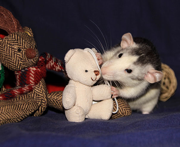 Rats with Teddy Bears 22