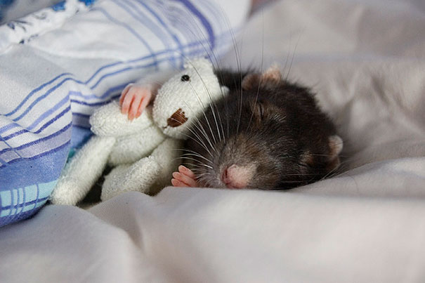 Rats with Teddy Bears 3