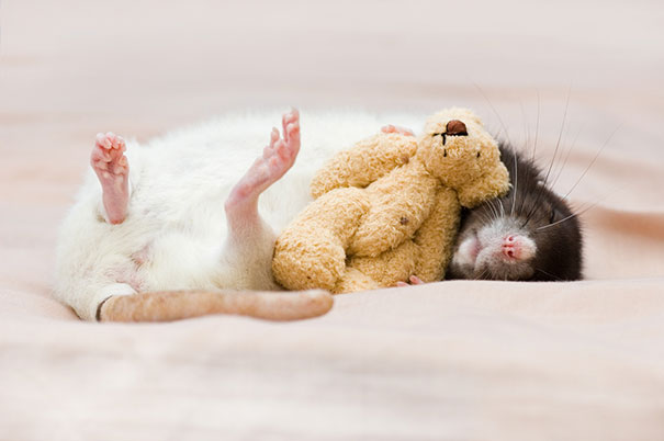 Rats with Teddy Bears 5