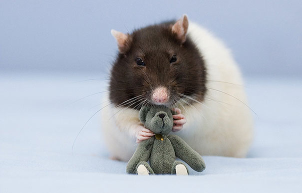 Rats with Teddy Bears 6