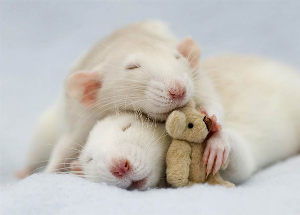 Rats with Teddy Bears 8