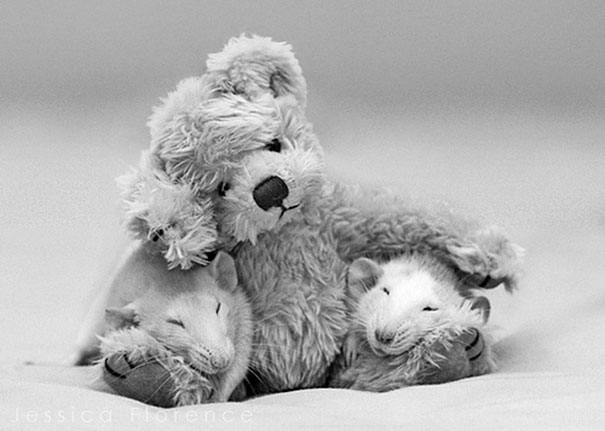 Rats with Teddy Bears 9
