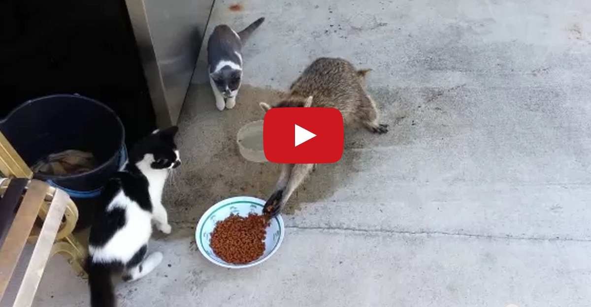 Raccoon Steals Cat Food Video