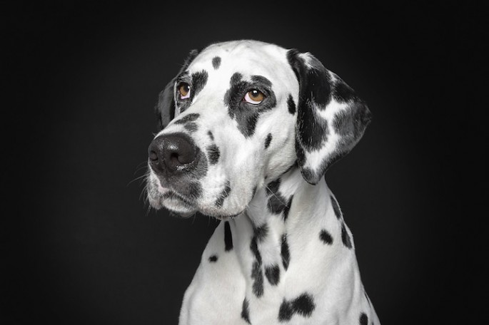 Serious Dog Portraits - 04