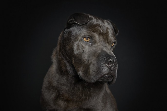 Serious Dog Portraits - 05