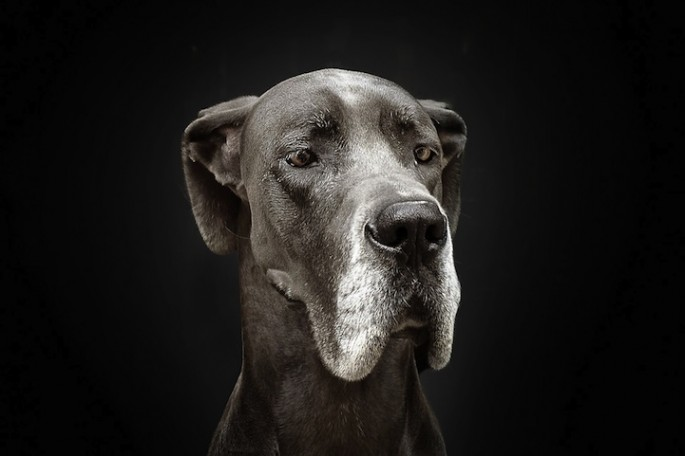 Serious Dog Portraits - 08