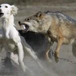 Wildlife photos - dog and wolf