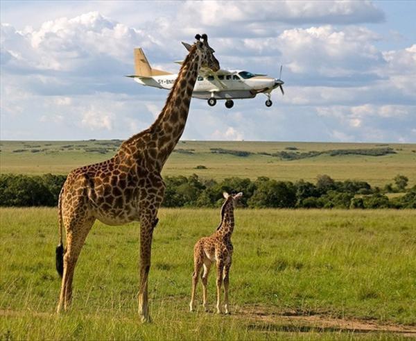 giraffeplane