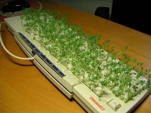 keyboardgrass