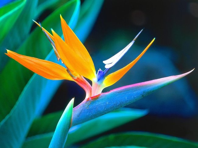 25 of the most breathtaking and dangerous flowers in the world 22 rszbird of paradise flower 1 mightylinksfo